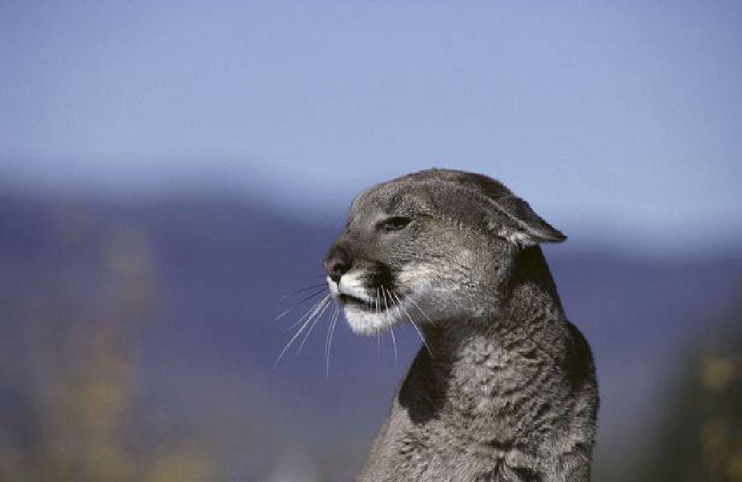 Les pumas (couguars) ont officiellement disparu Cougar